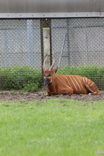 Eastern Mountain Bongo - Woburn Safari Park