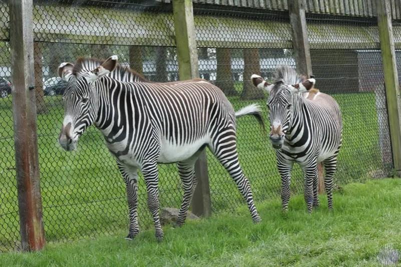 Grevy's Zebra - Woburn Safari Park