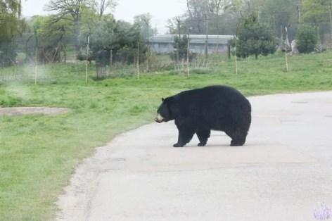 North American Black Bear - Woburn Safari Park