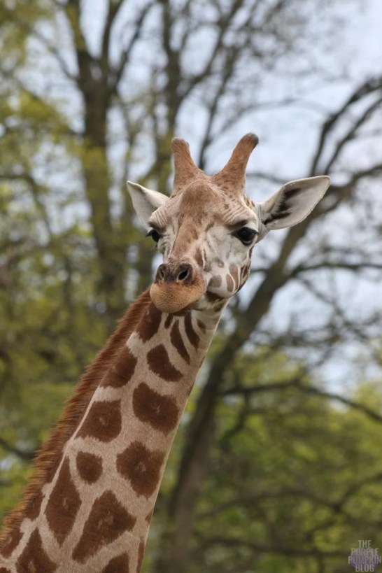 Rothschild's Giraffe - Woburn Safari Park