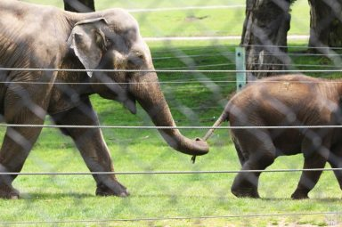Woburn Safari Park - Asian Elephants