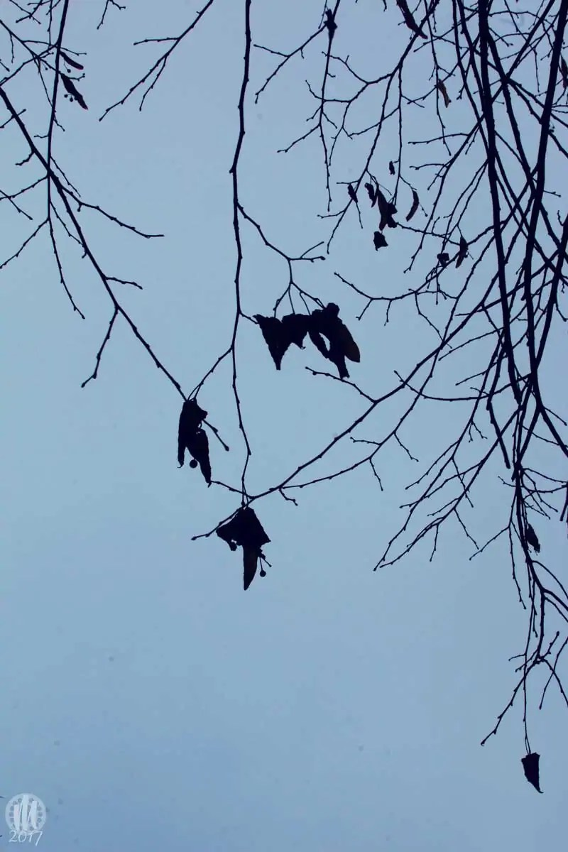 Project 365 - 2017 - Day 10: Leaves on branches against a dim blue sky