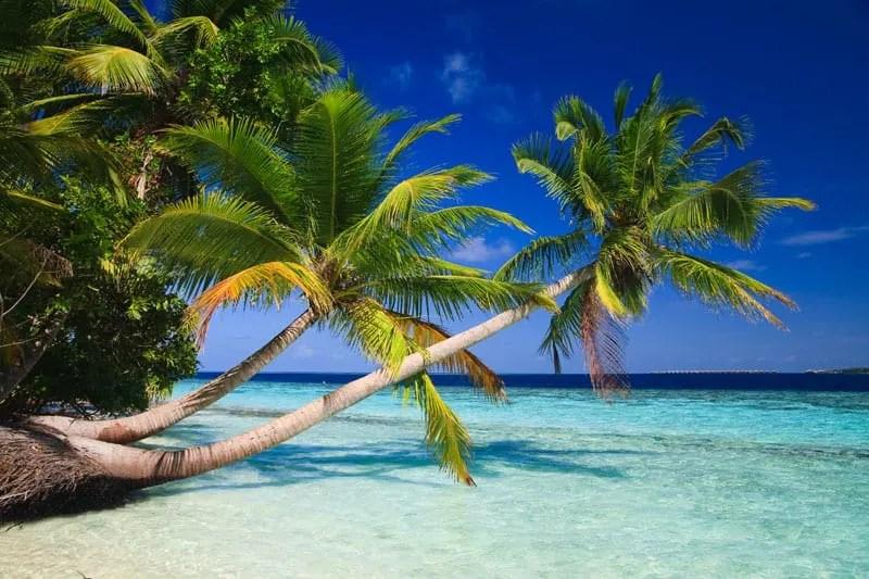 Palm Trees Maldives