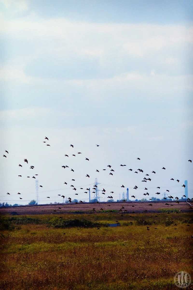 Project 365 - 2017 - Day 334 - Starlings in flight