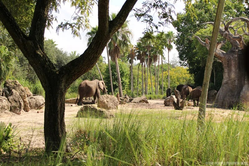 Kilimanjaro Safaris - Animal Kingdom - Elephants