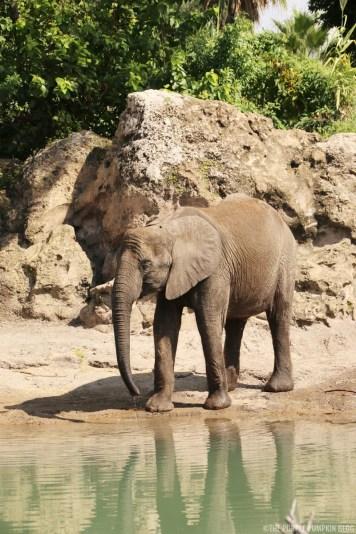 Kilimanjaro Safaris - Animal Kingdom - Elephant