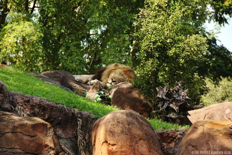 Kilimanjaro Safaris - Animal Kingdom - Lion