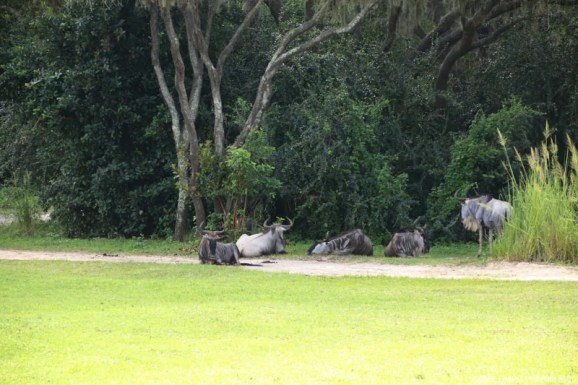 Kilimanjaro Safaris - Animal Kingdom - Wildebeast