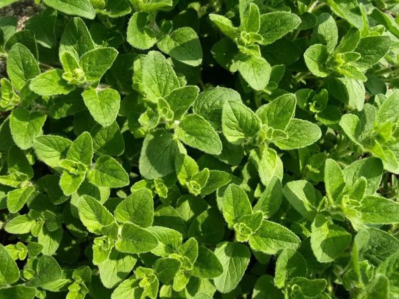 Fresh Herbs - Oregano