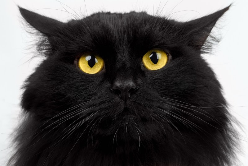 Close-up Angry Black Cat with Yellow Eyes on White