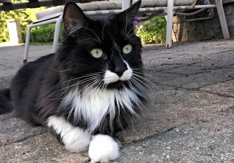 Image result for tuxedo cat