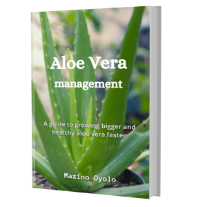 How to grow aloe vera bigger and faster