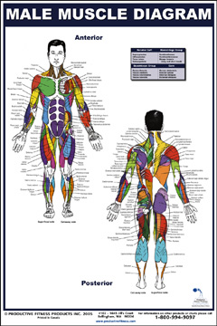 Exercise Books And Posters Male Muscle Diagram Poster