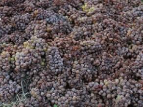 Tramin - Gewurztraminer Grapes
