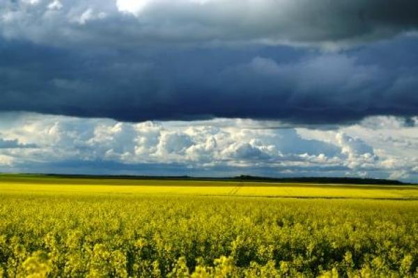 field colza rapeseed beauce chartres france