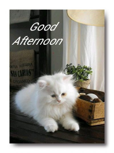 Good Afternoon Wallpaper Cat