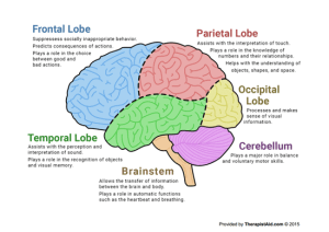 The Human Brain (Diagram) (Worksheet) | Therapist Aid