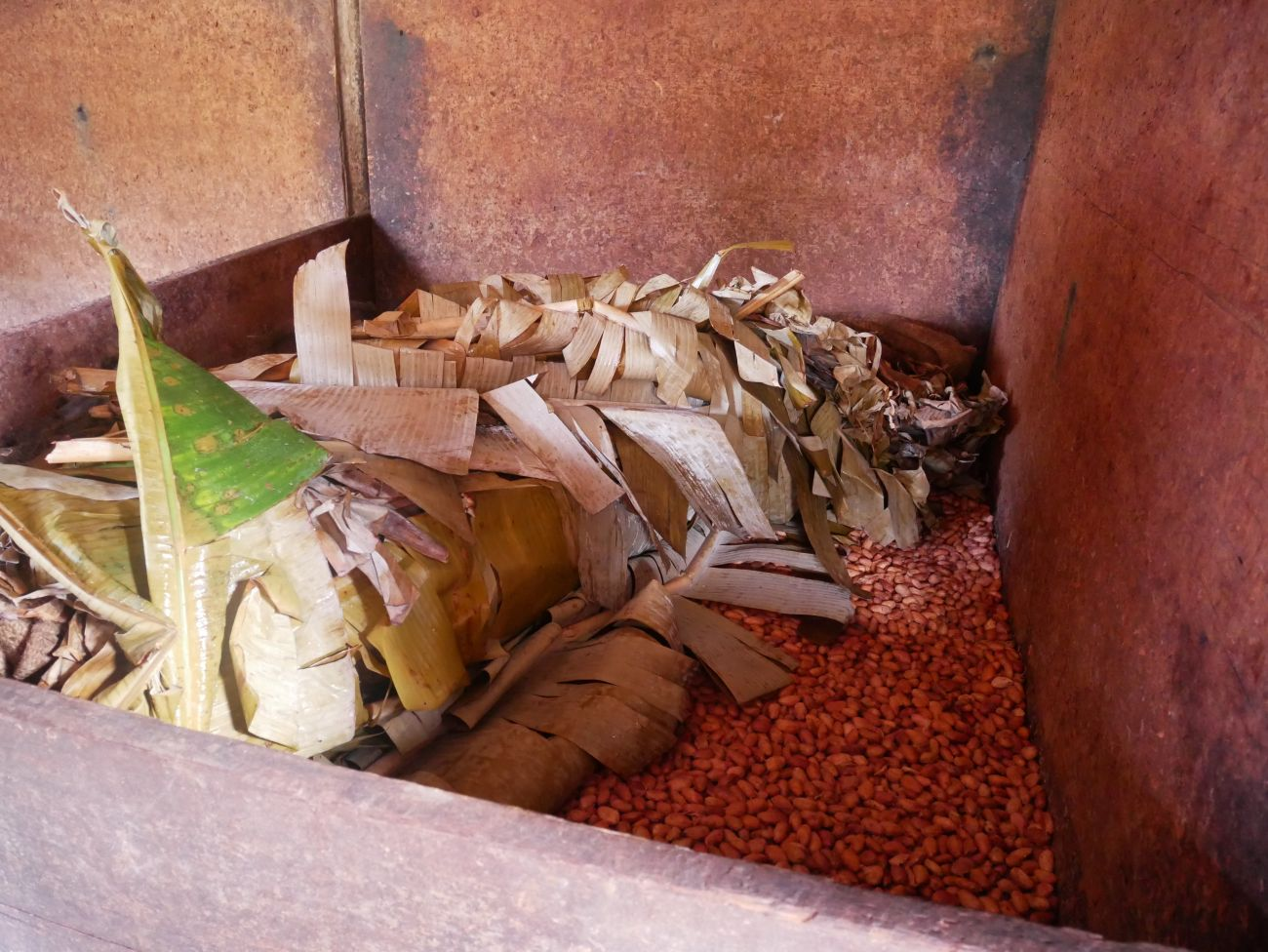 Fermenting cacao beans at Belmont Estate