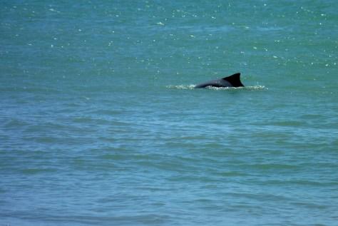Dolphin at Baia dos Golfinhos
