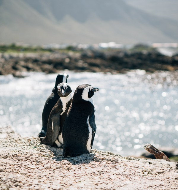 The drive to Hermanus via Betty's Bay penguins