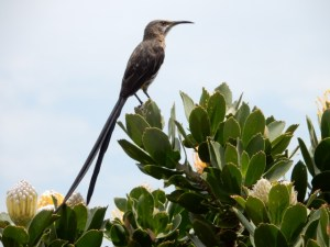 Cape Sugar Bird