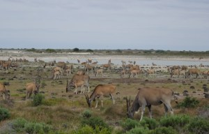 Huge herd of Eland
