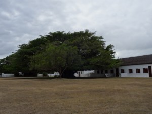 One of the magnificent fig trees around the De Hoop office buildings