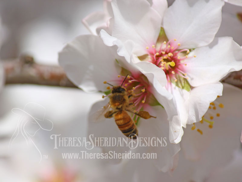 Bee Pollinating Almonds
