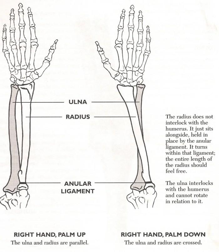 radius ulnar p83