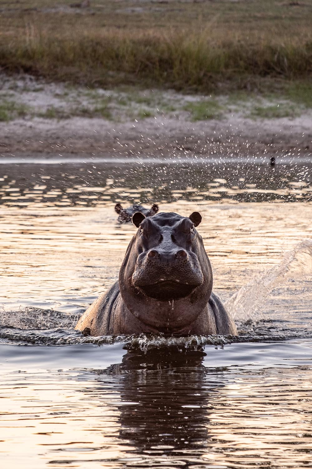 Hippo with head out of water