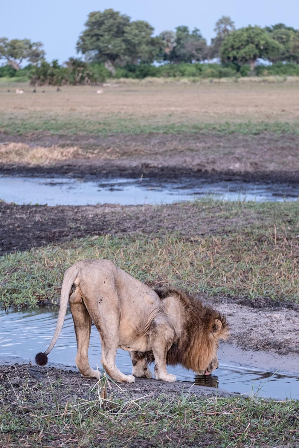 Male lion drinking from stream