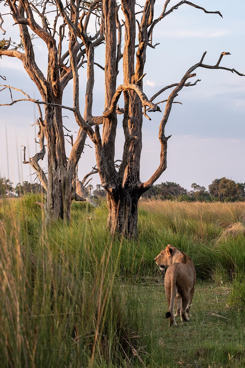 Lioness walking in nature