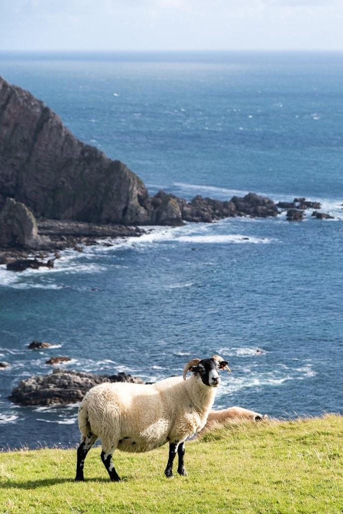 Sheep grazing by seaside cliff