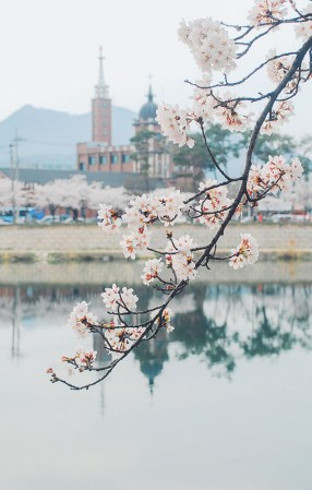 Cherry Blossoms Korea