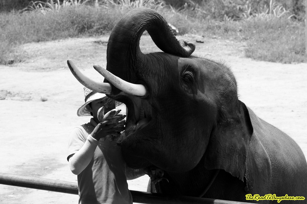 Elephant with mouth open at an elephant camp near Chiang Mai, Thailand