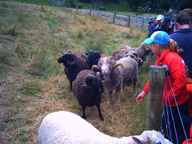 Sheep in Queenstown, New Zealand