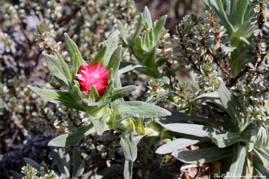A native flower on Mount Kilimanjaro, Tanzania