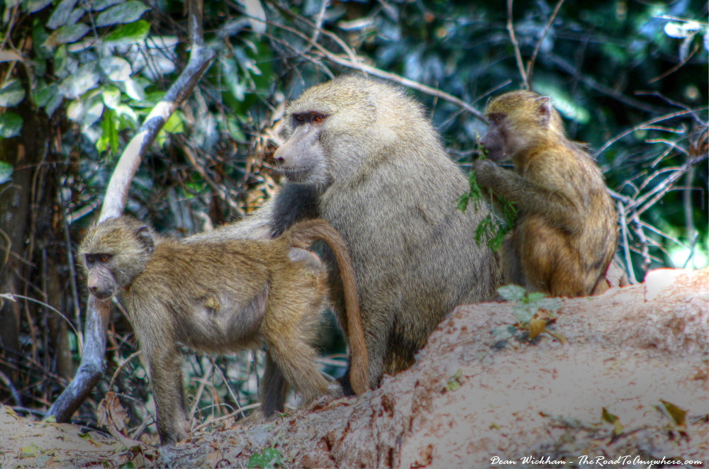 A family of baboons in Lake Manyara National Park, Tanzania