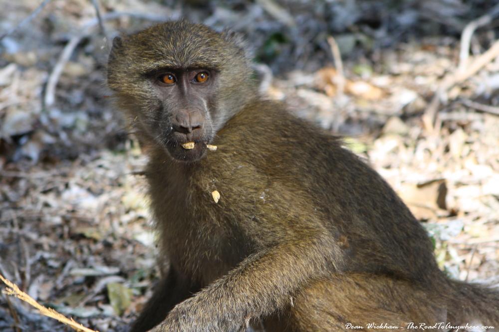 A baboon in Lake Manyara National Park, Tanzania