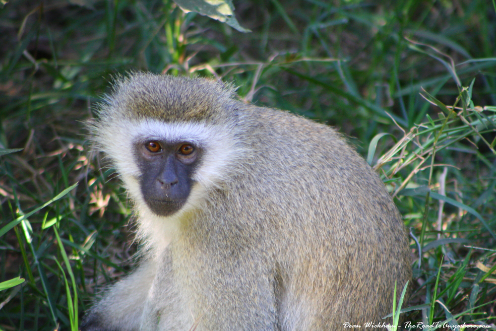 A black faced ververt monkey in Lake Manyara National Park, Tanzania