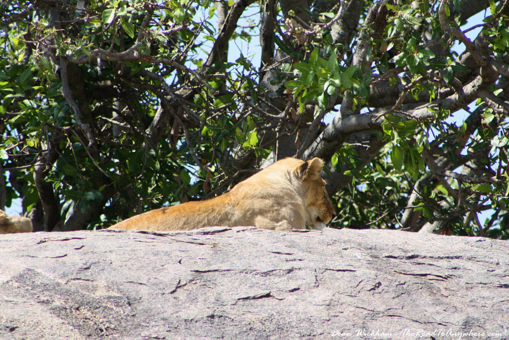 A lioness lazing on a rock in Serengeti National Park, Tanzania