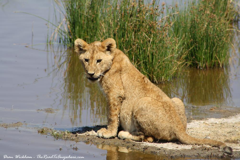 A lion cub at a waterhole in Serengeti National Park, Tanzania