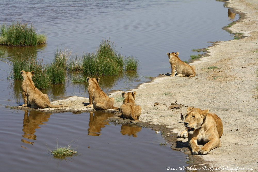 Lion cubs with their mother at a waterhole in Serengeti National Park, Tanzania