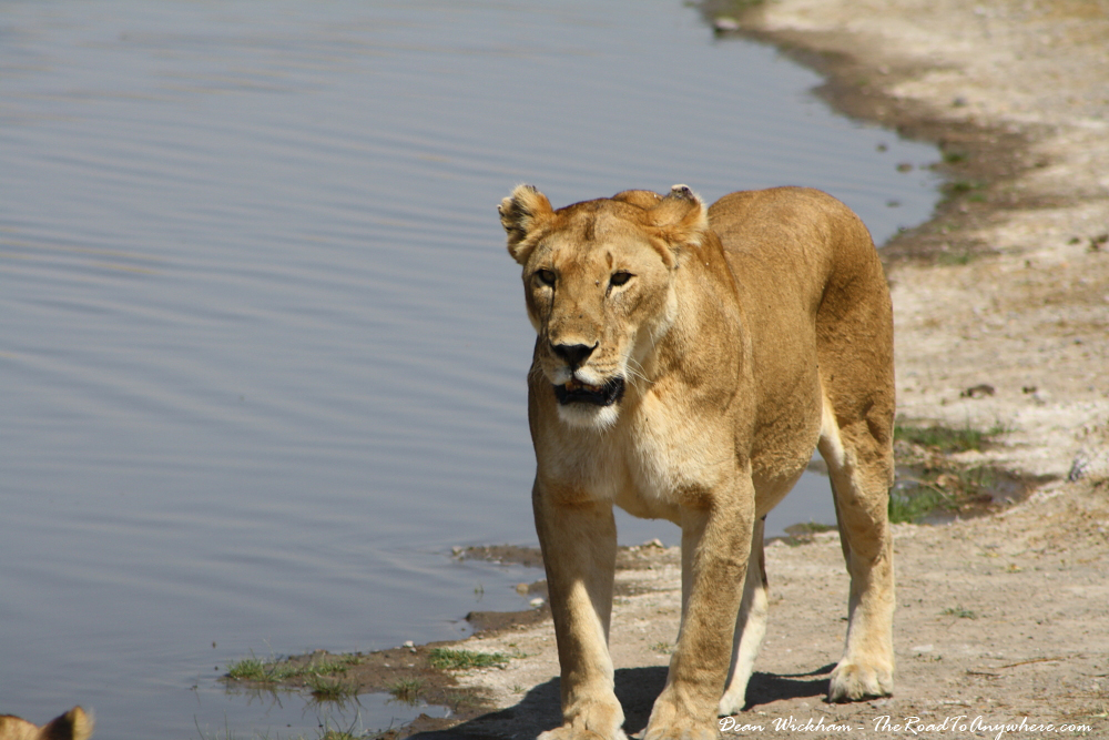 A lioness at a waterhole in Serengeti National Park, Tanzania