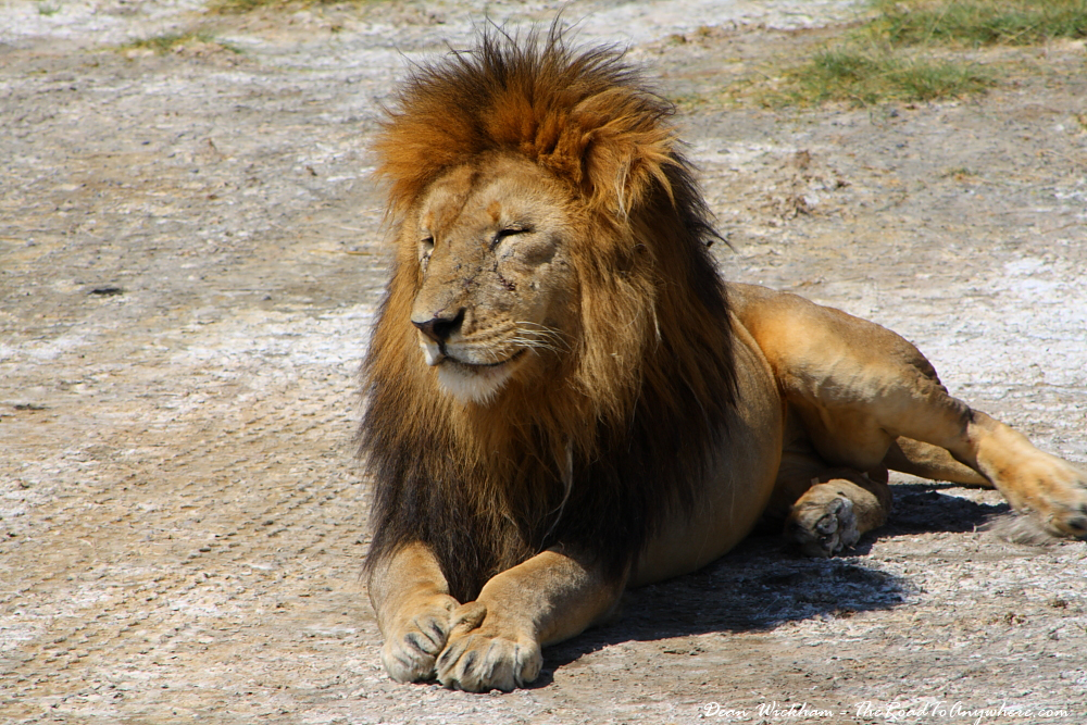 A male lion getting sleepy in the sun in Serengeti National Park, Tanzania
