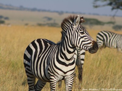 A Zebra in Serengeti National Park, Tanzania