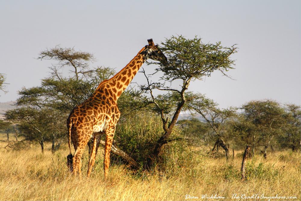 Giraffe eating from a tree in Serengeti National Park, Tanzania