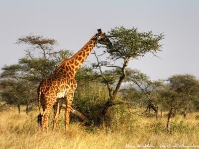 Giraffe eating from a tree in Serengeti National Park, Tanzania