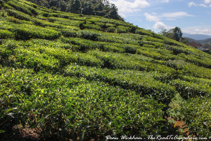 Tea plantation in the Cameron Highlands, Malaysia