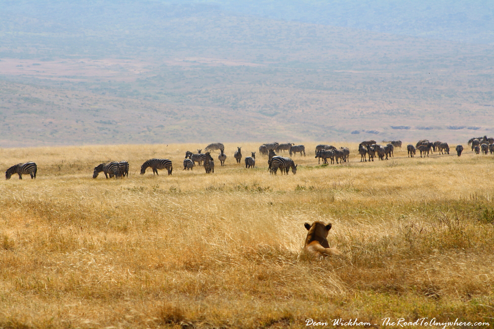 A lioness watches a herd of zebra in Ngorongoro Crater, Tanzania